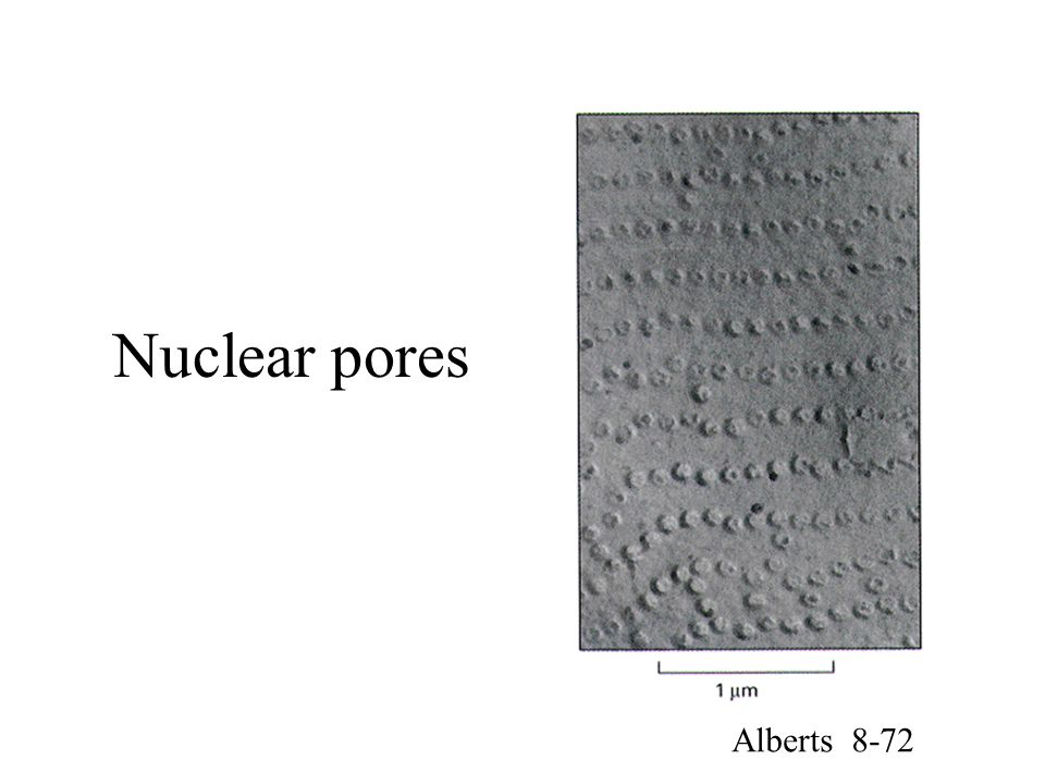 Nuclear pores Alberts 8-72