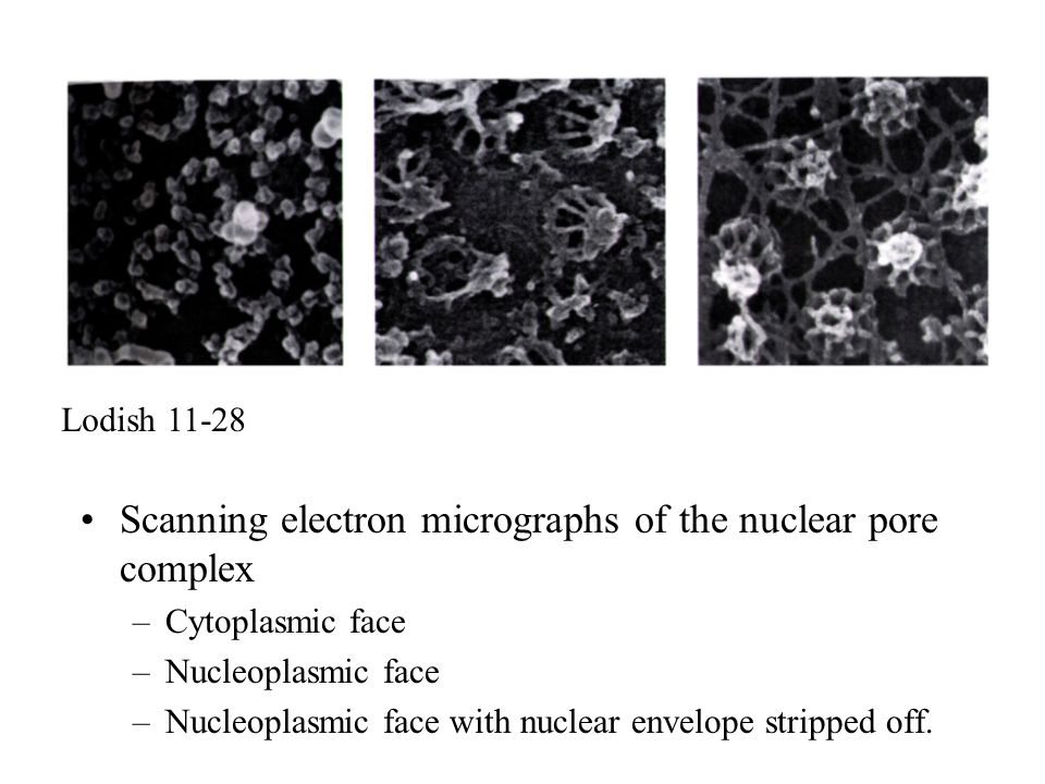 Scanning electron micrographs of the nuclear pore complex