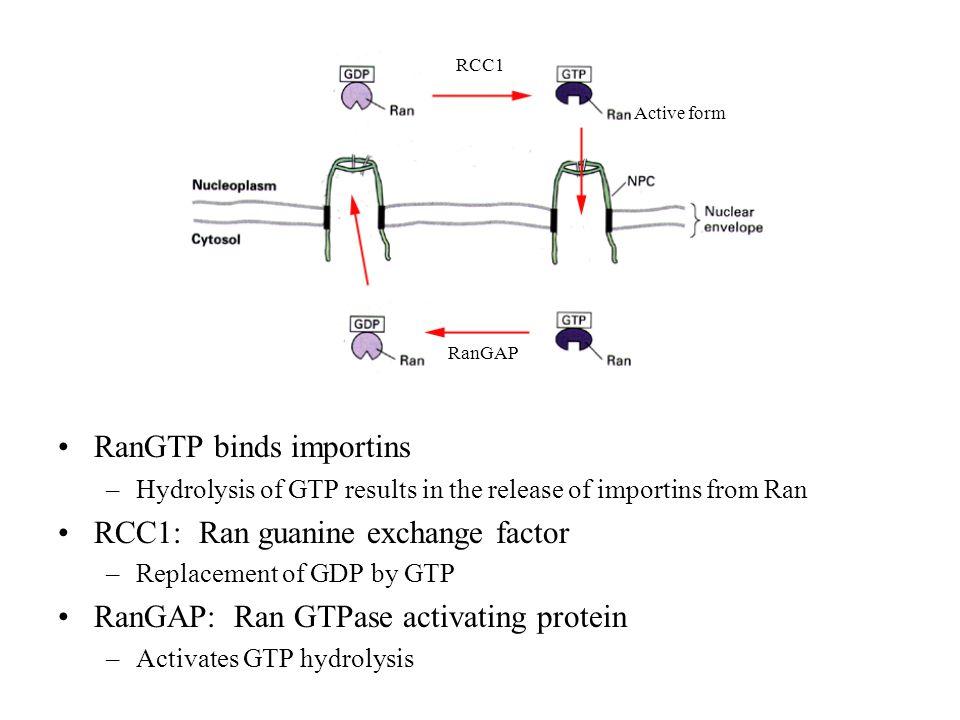 RanGTP binds importins RCC1: Ran guanine exchange factor