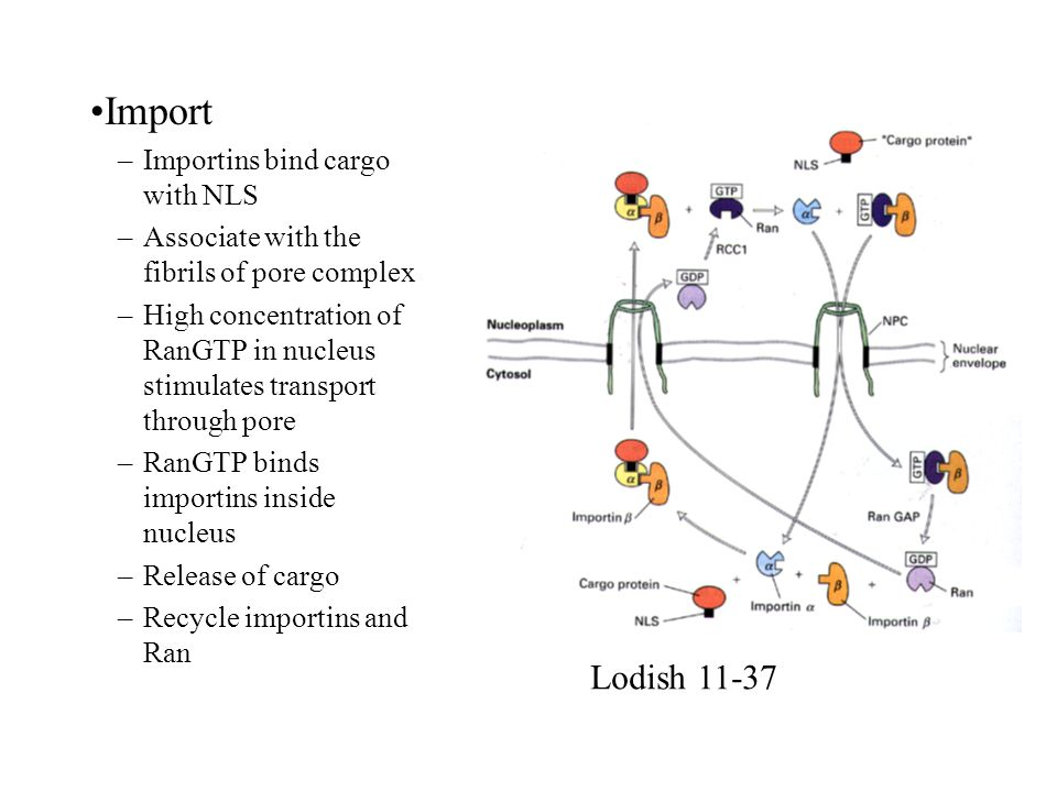 Import Lodish 11-37 Importins bind cargo with NLS