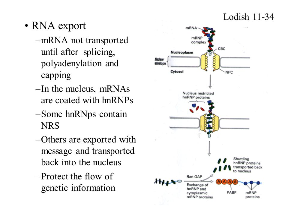Lodish 11-34 RNA export. mRNA not transported until after splicing, polyadenylation and capping. In the nucleus, mRNAs are coated with hnRNPs.