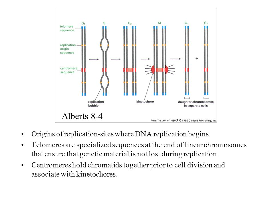 Alberts 8-4 Origins of replication-sites where DNA replication begins.
