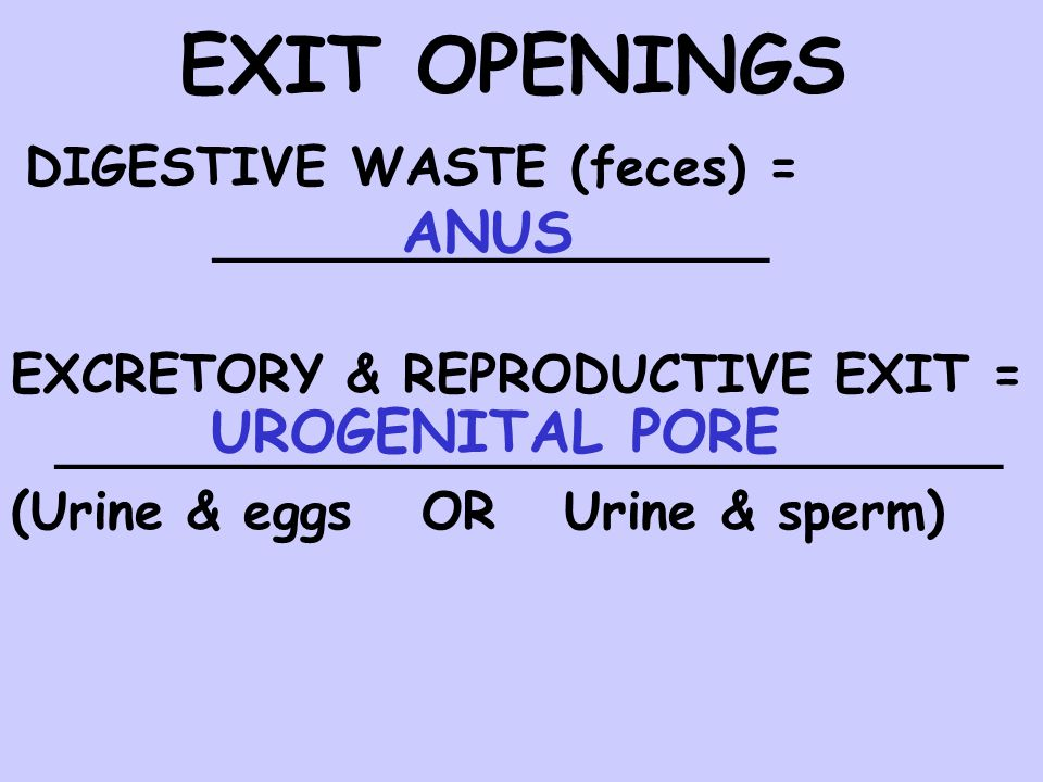 EXIT OPENINGS DIGESTIVE WASTE (feces) = ANUS UROGENITAL PORE