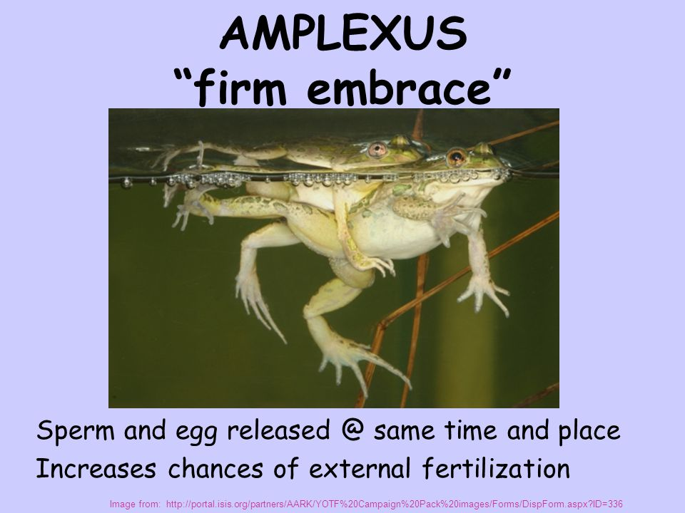 AMPLEXUS firm embrace