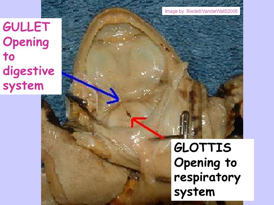 GULLET Opening to digestive system GLOTTIS Opening to