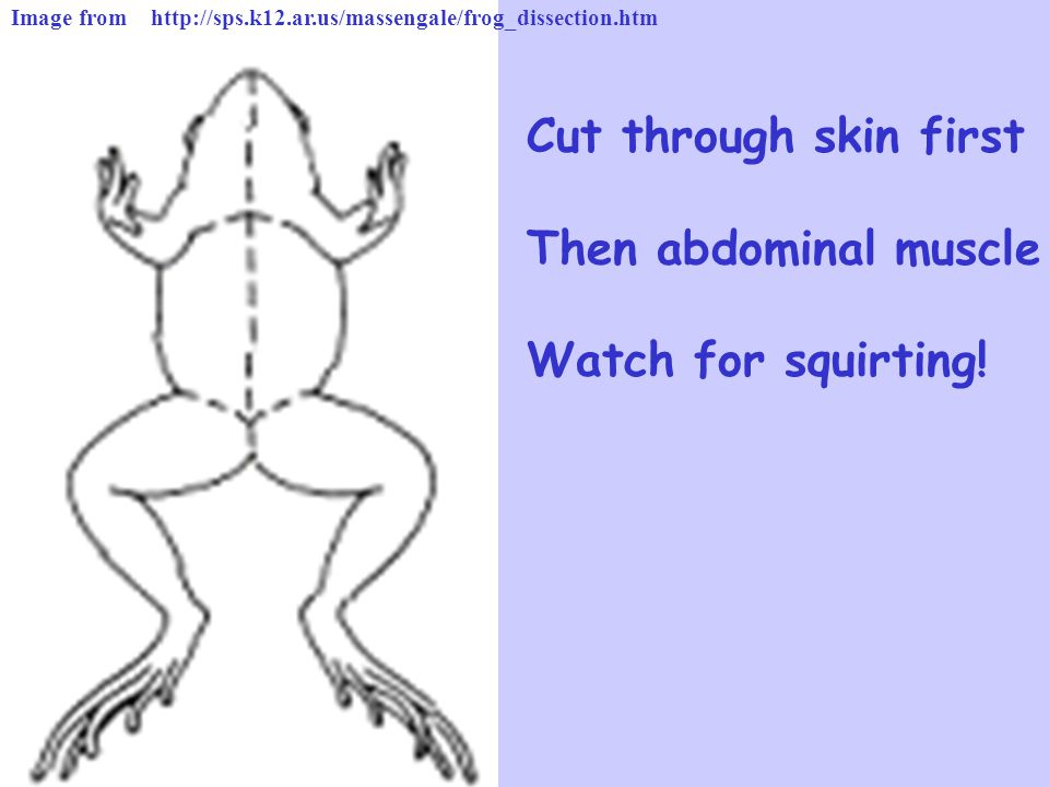 Cut through skin first Then abdominal muscle Watch for squirting!