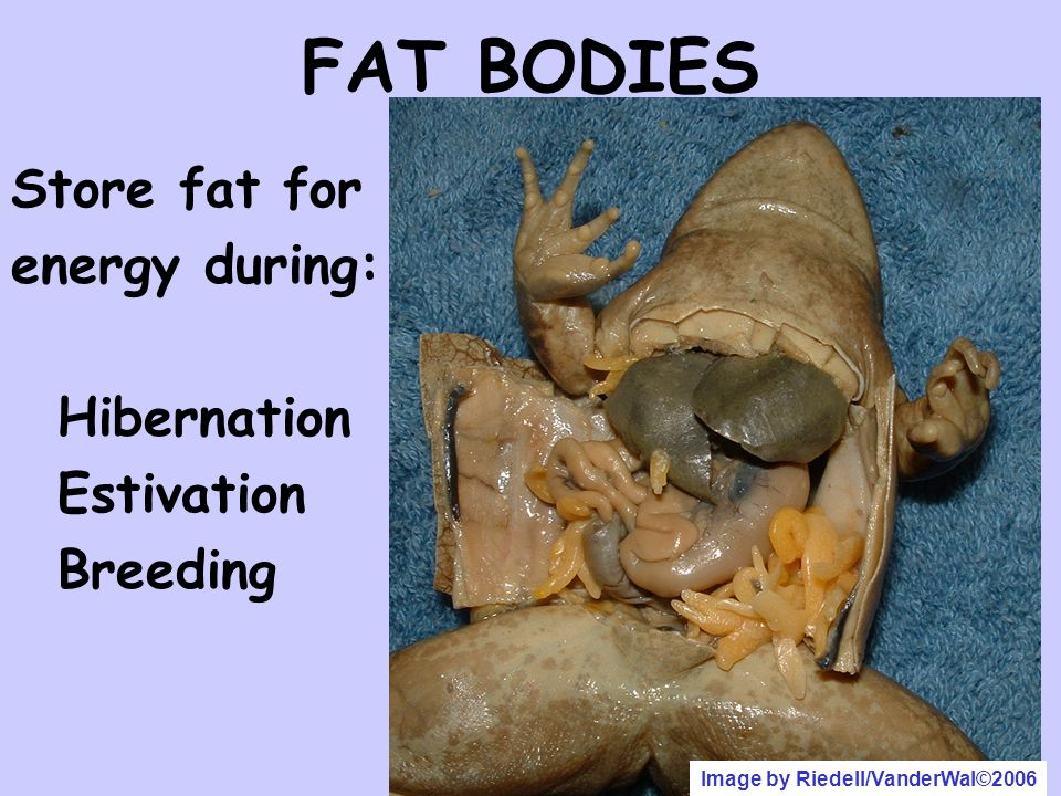 FAT BODIES Store fat for energy during: Hibernation Estivation