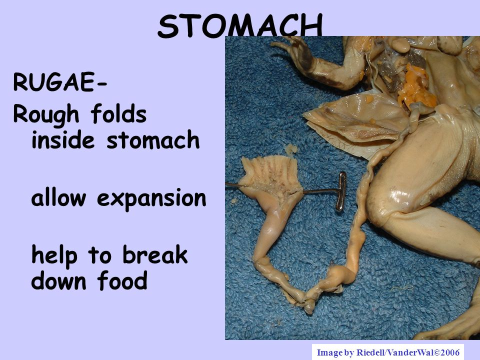 STOMACH RUGAE- Rough folds inside stomach allow expansion