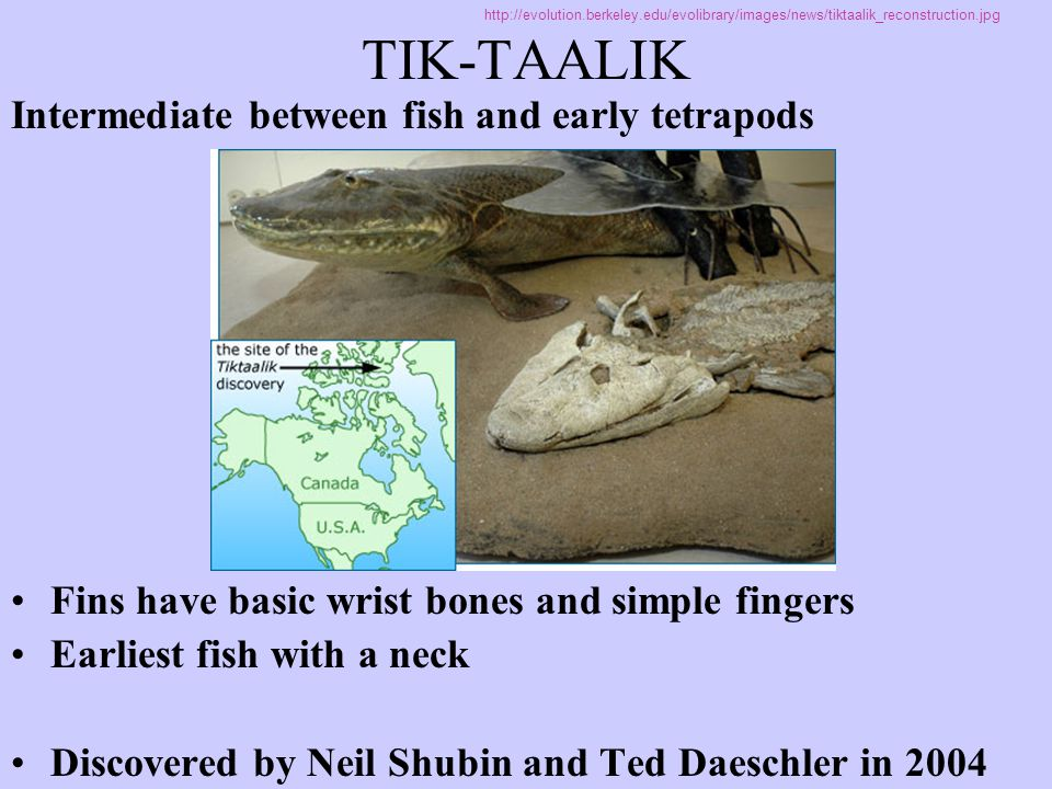 TIK-TAALIK Intermediate between fish and early tetrapods