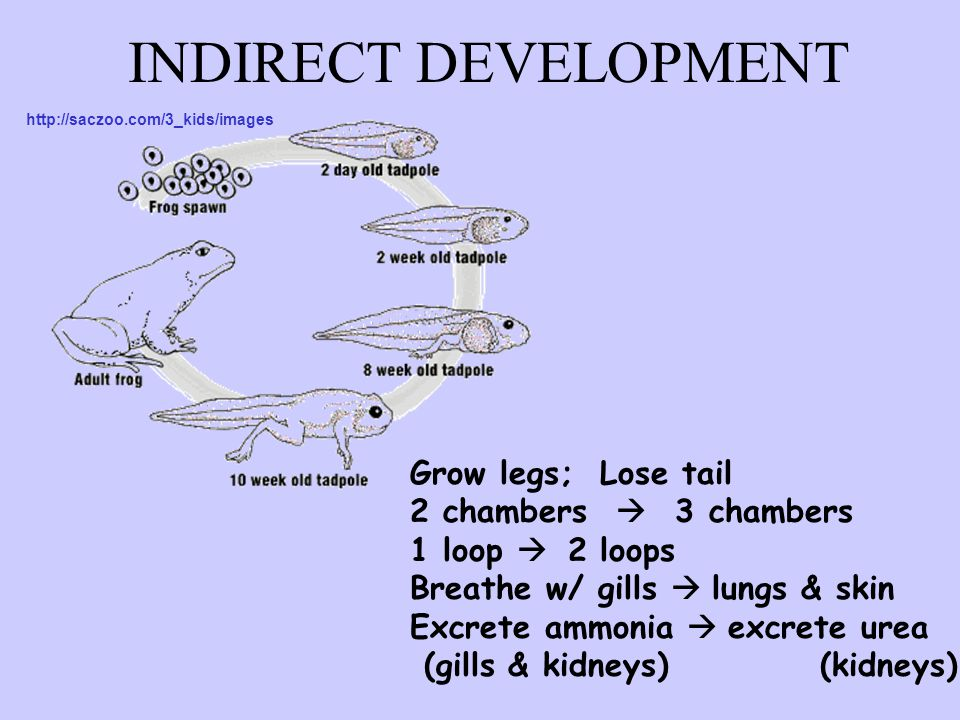 INDIRECT DEVELOPMENT Grow legs; Lose tail 2 chambers  3 chambers