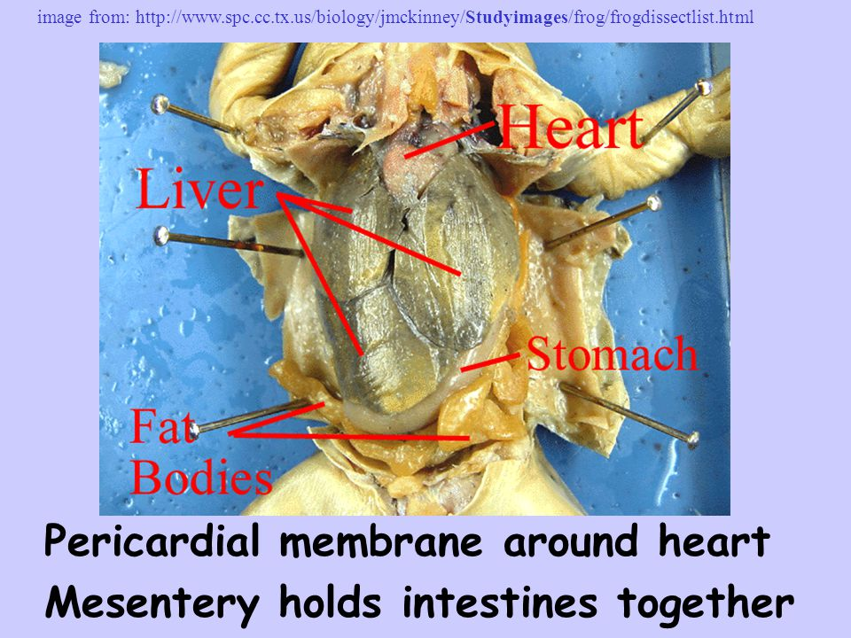 Pericardial membrane around heart Mesentery holds intestines together