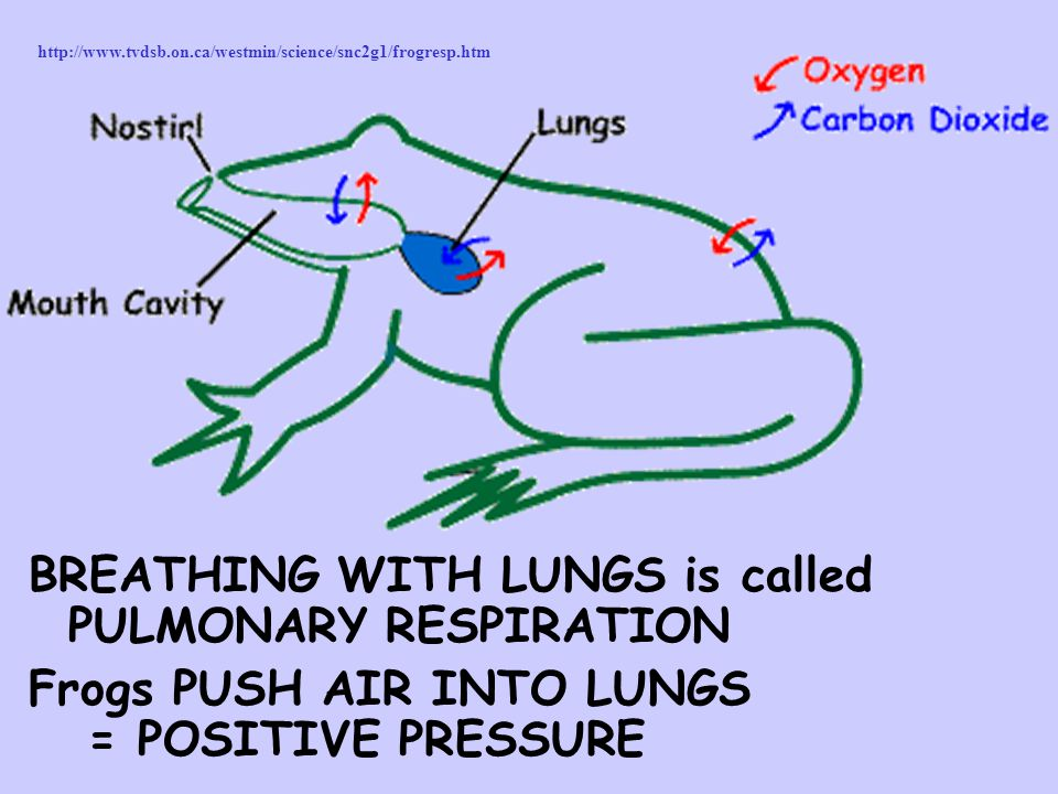 BREATHING WITH LUNGS is called PULMONARY RESPIRATION