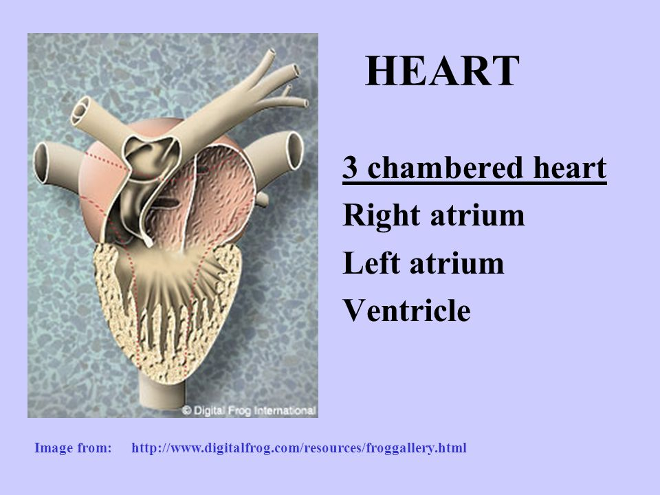 HEART 3 chambered heart Right atrium Left atrium Ventricle