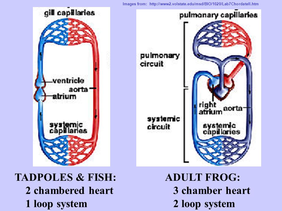 TADPOLES & FISH: 2 chambered heart 1 loop system ADULT FROG: