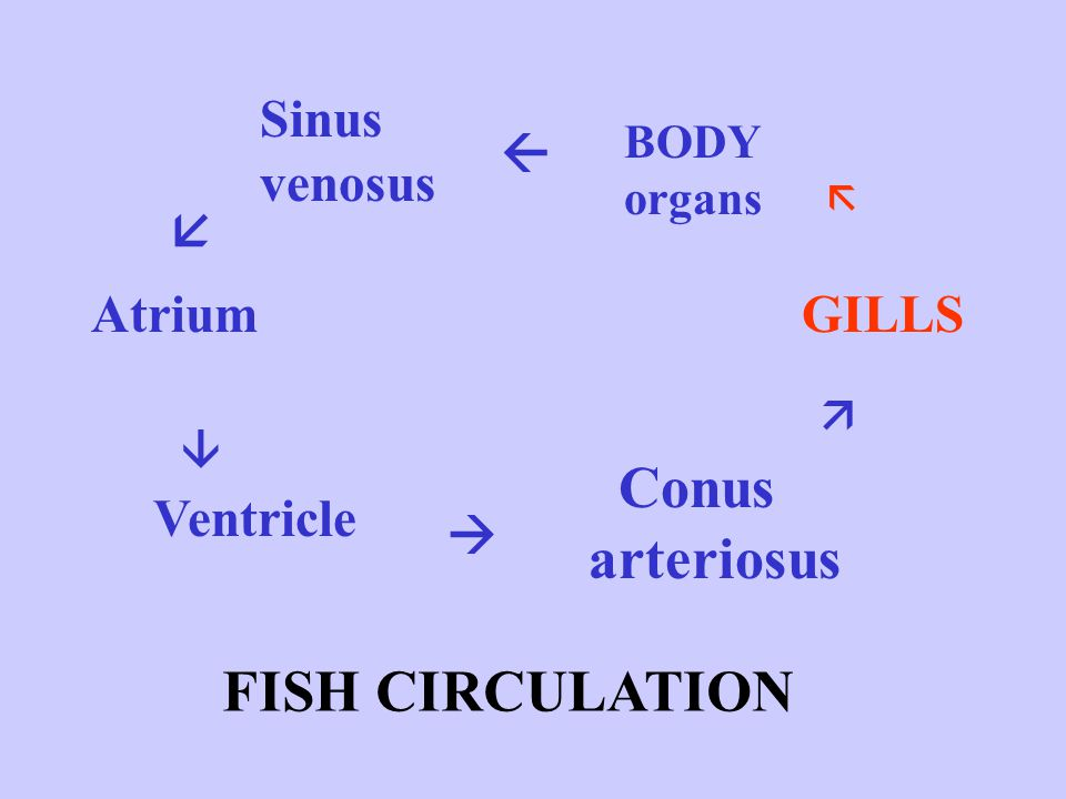 Conus arteriosus FISH CIRCULATION Sinus venosus   Atrium GILLS
