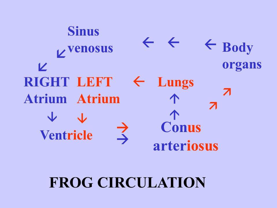 Conus arteriosus FROG CIRCULATION Sinus venosus    Body organs  