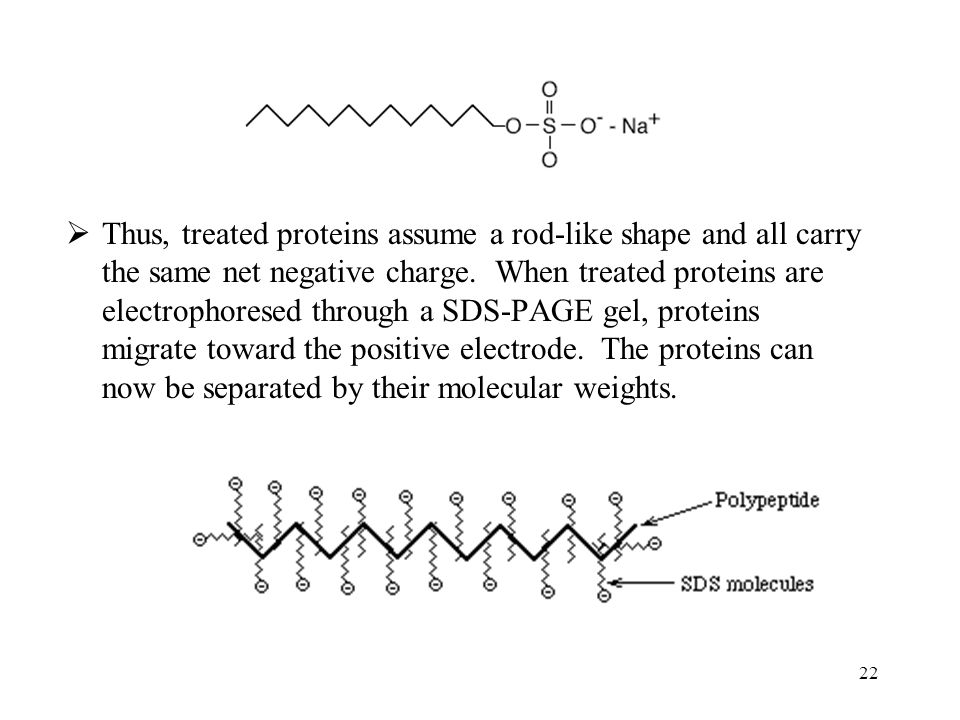 Thus, treated proteins assume a rod-like shape and all carry the same net negative charge. When treated proteins are electrophoresed through a SDS-PAGE gel, proteins migrate toward the positive electrode. The proteins can now be separated by their molecular weights.