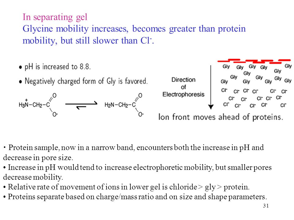 In separating gel Glycine mobility increases, becomes greater than protein mobility, but still slower than Cl-.
