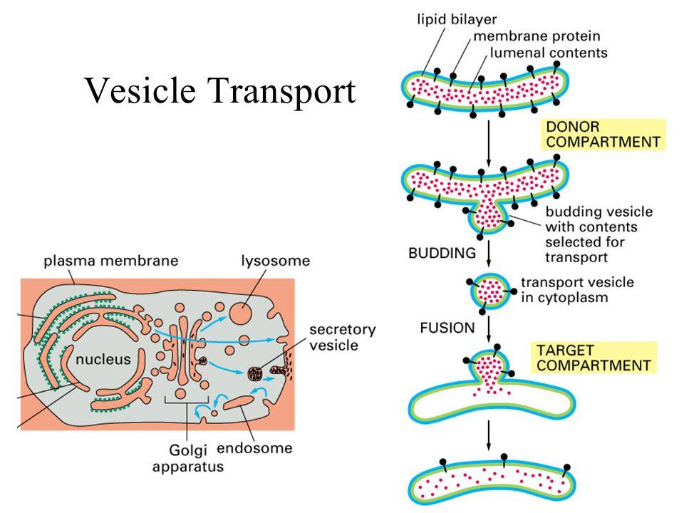 Vesicle Transport