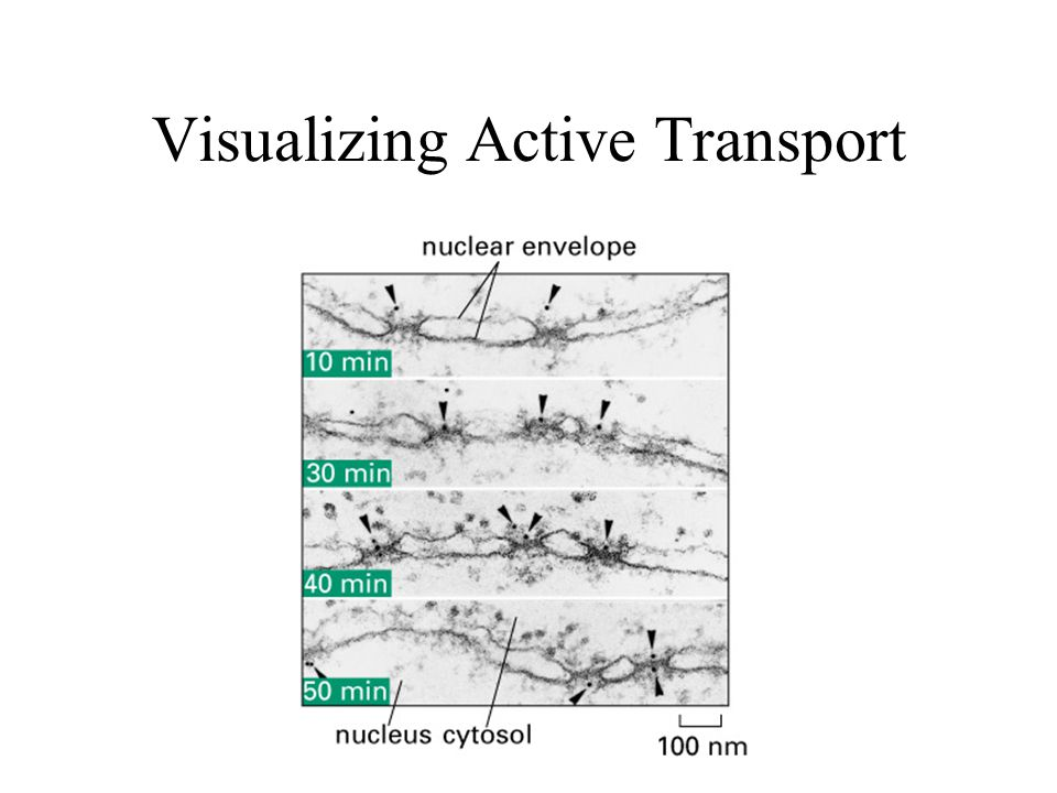 Visualizing Active Transport
