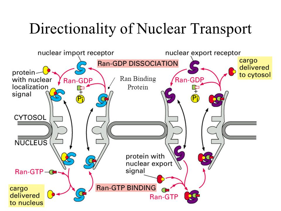 Directionality of Nuclear Transport