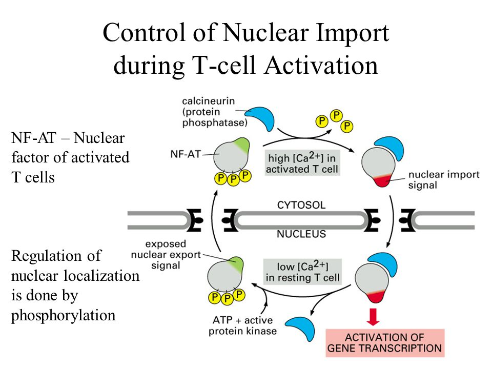 Control of Nuclear Import during T-cell Activation