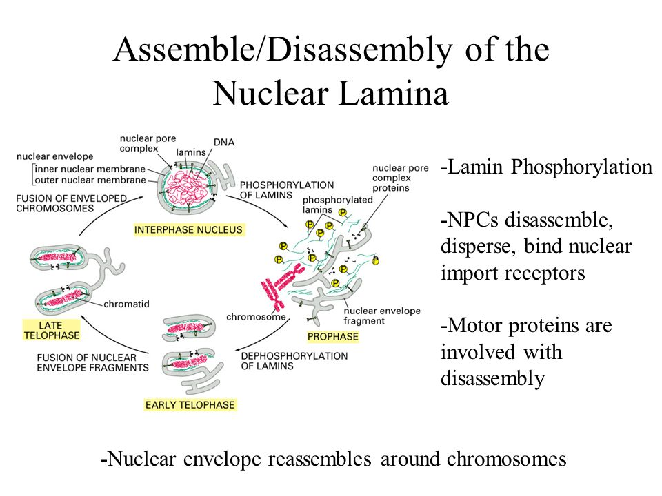 Assemble/Disassembly of the Nuclear Lamina