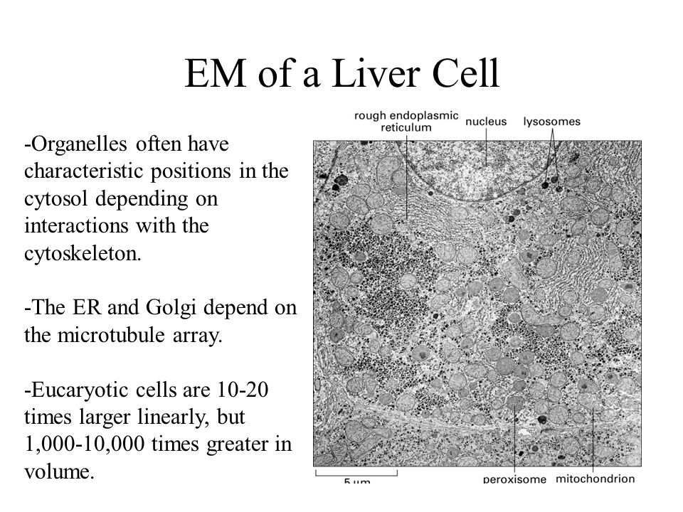 EM of a Liver Cell -Organelles often have characteristic positions in the cytosol depending on interactions with the cytoskeleton.