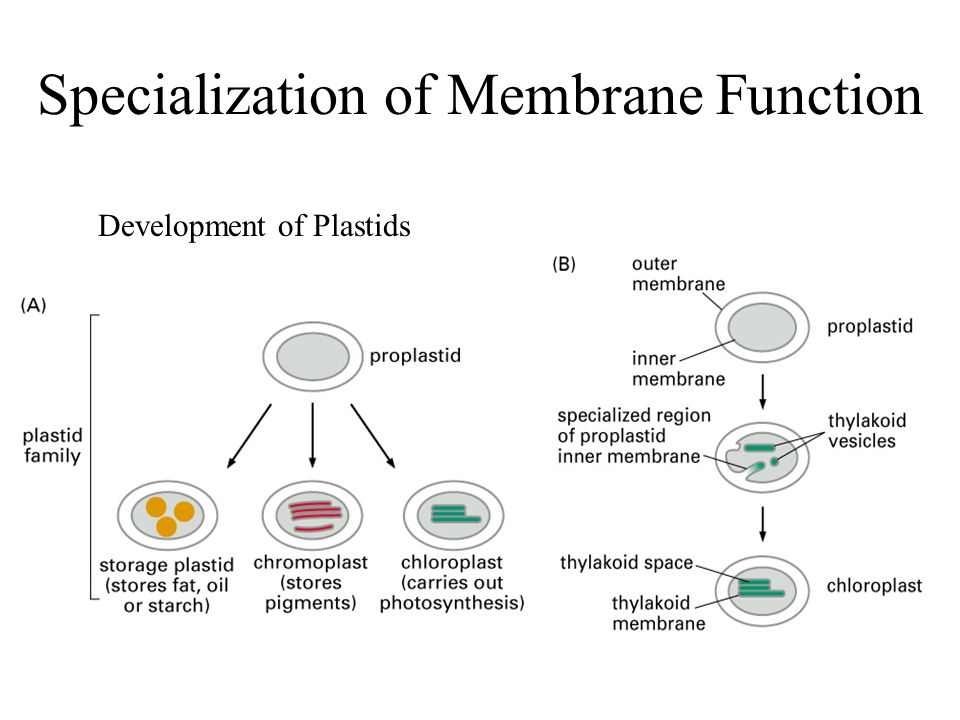 Specialization of Membrane Function