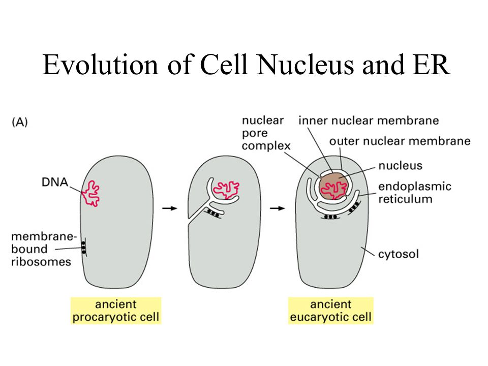 Evolution of Cell Nucleus and ER