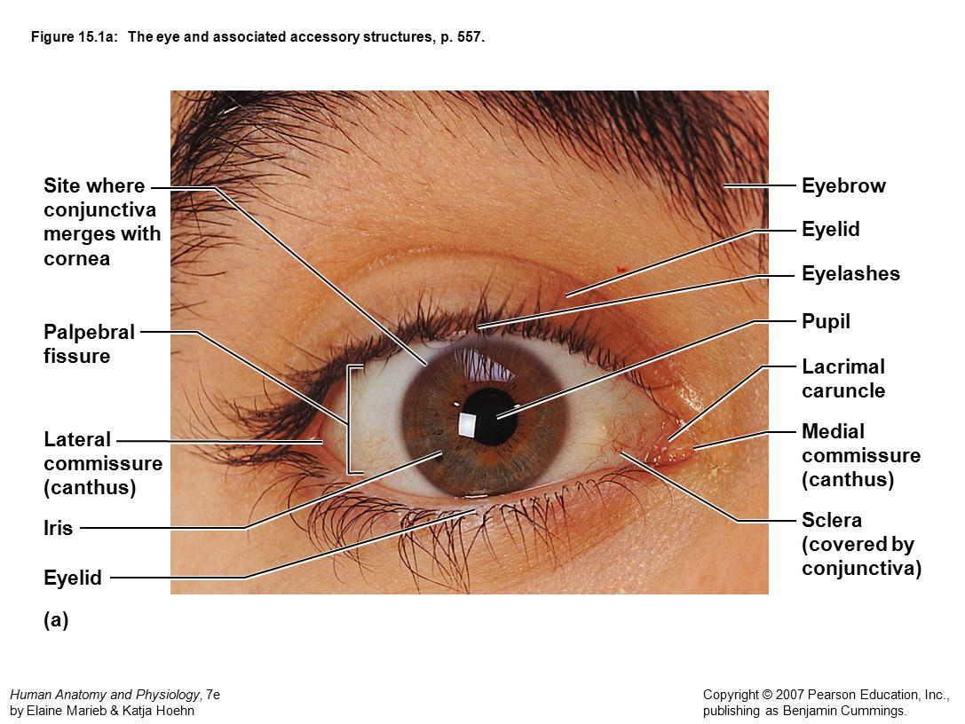 Atractivo Anatomy And Physiology Of The Eye Video Festooning ...