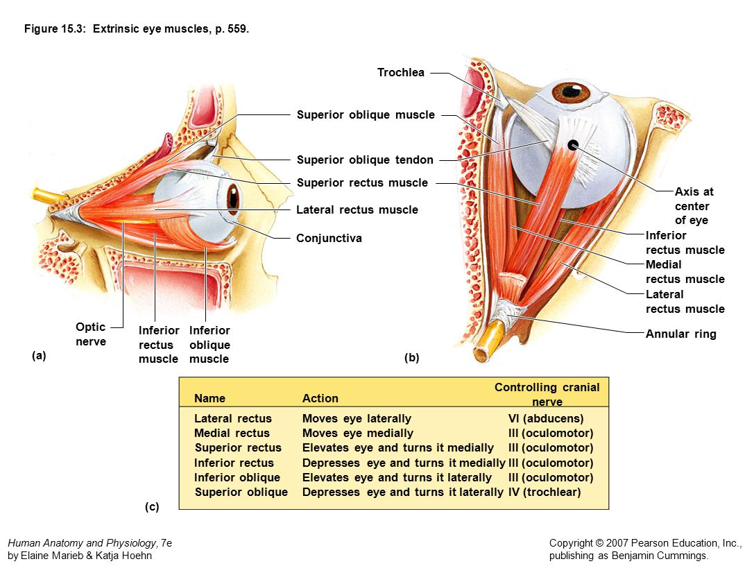 Figure 15.3: Extrinsic eye muscles, p. 559.