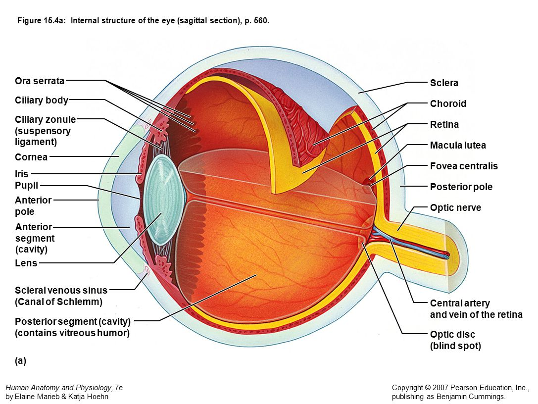 Posterior segment (cavity) (contains vitreous humor) Optic disc