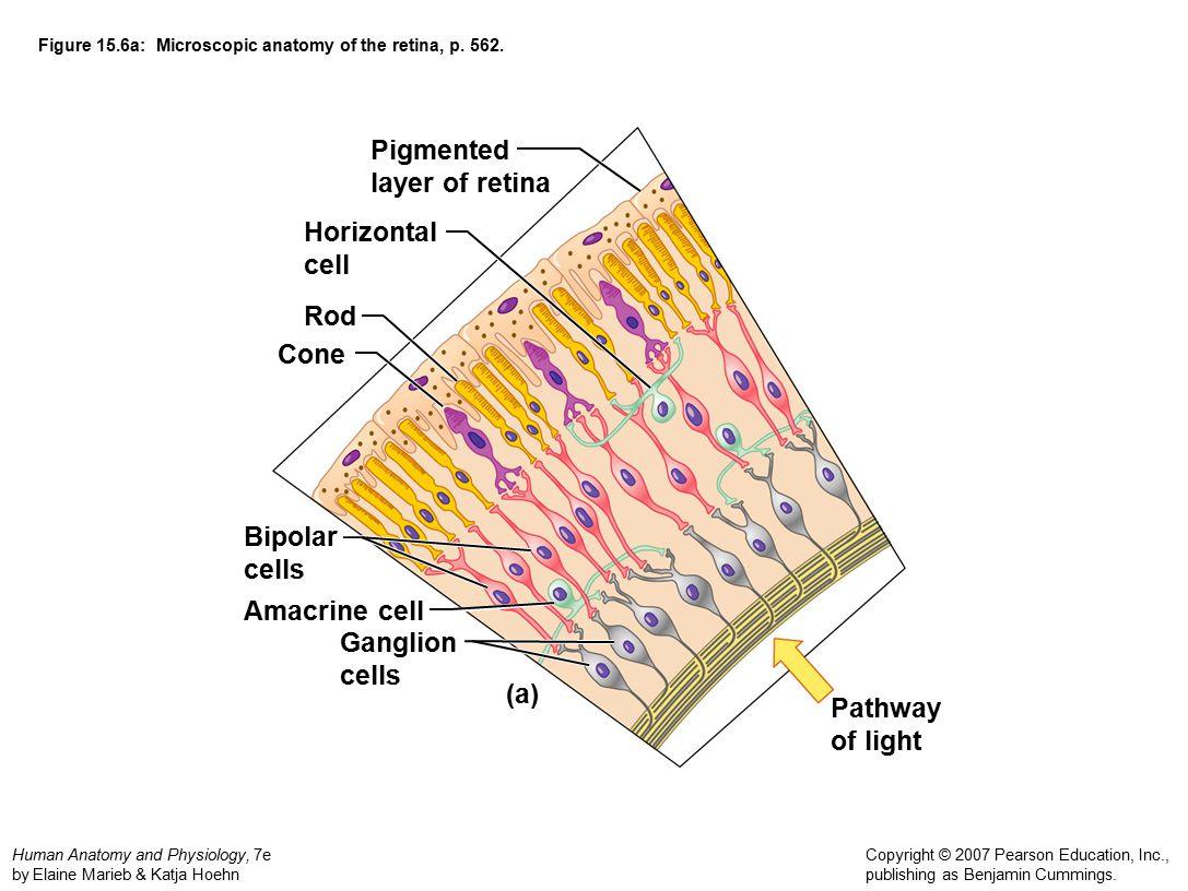 Anatomy of the retina