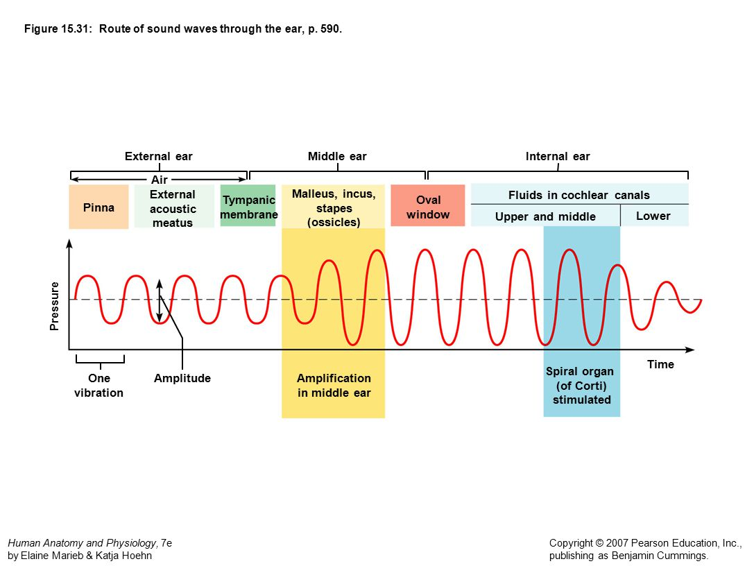 Figure 15.31: Route of sound waves through the ear, p. 590.