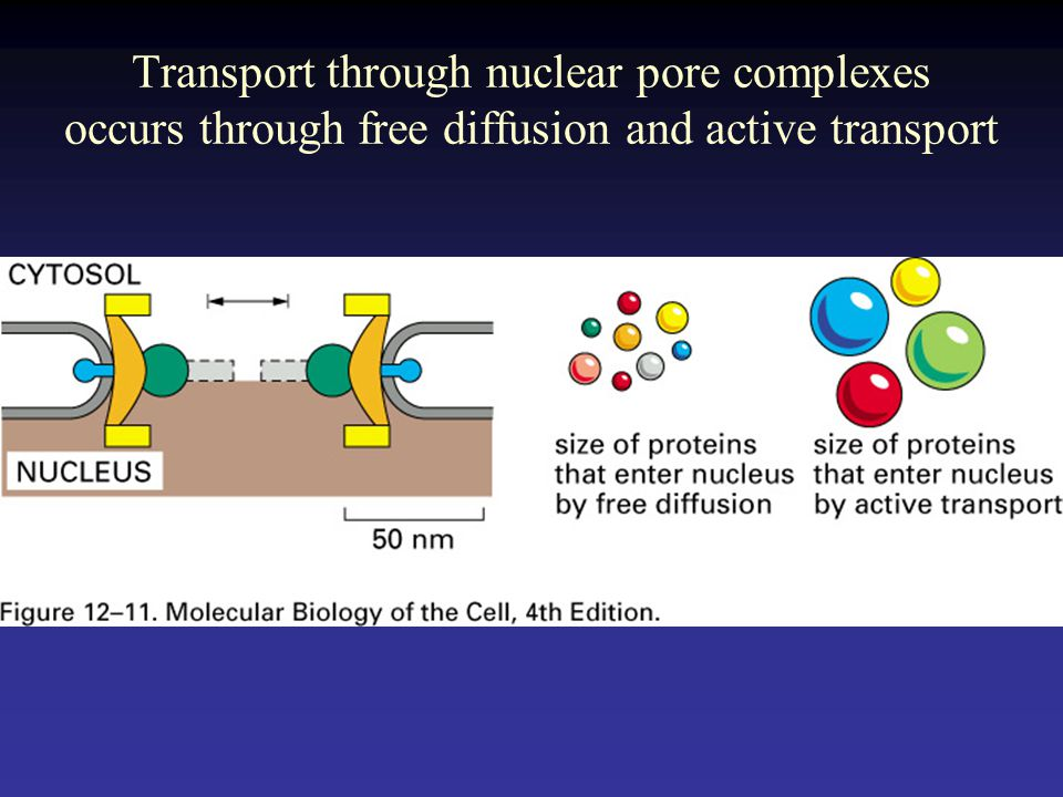 Transport through nuclear pore complexes occurs through free diffusion and active transport