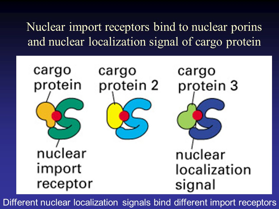 Nuclear import receptors bind to nuclear porins and nuclear localization signal of cargo protein