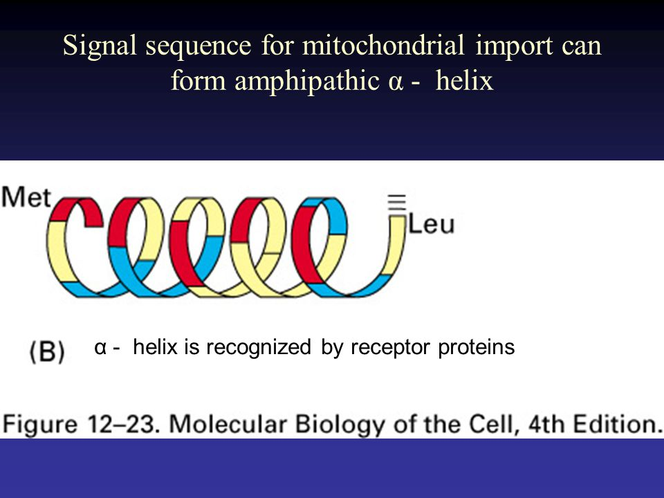 Signal sequence for mitochondrial import can form amphipathic α - helix
