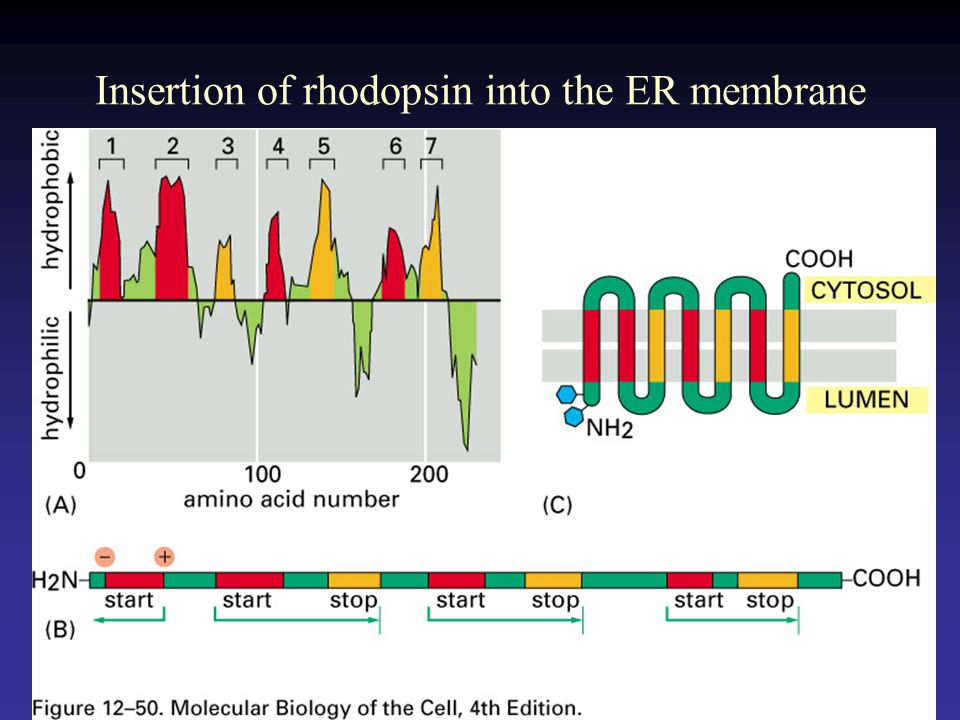 Insertion of rhodopsin into the ER membrane