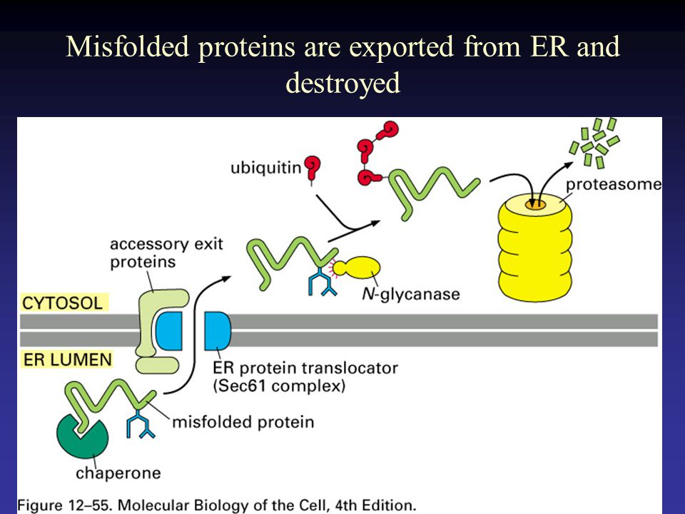 Misfolded proteins are exported from ER and destroyed