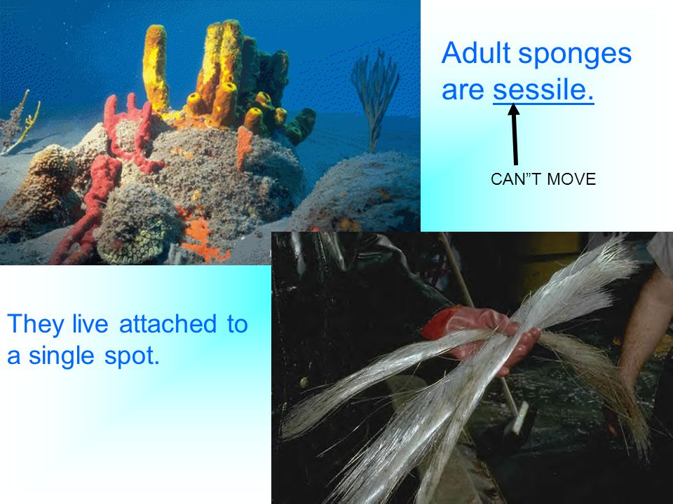Adult sponges are sessile.