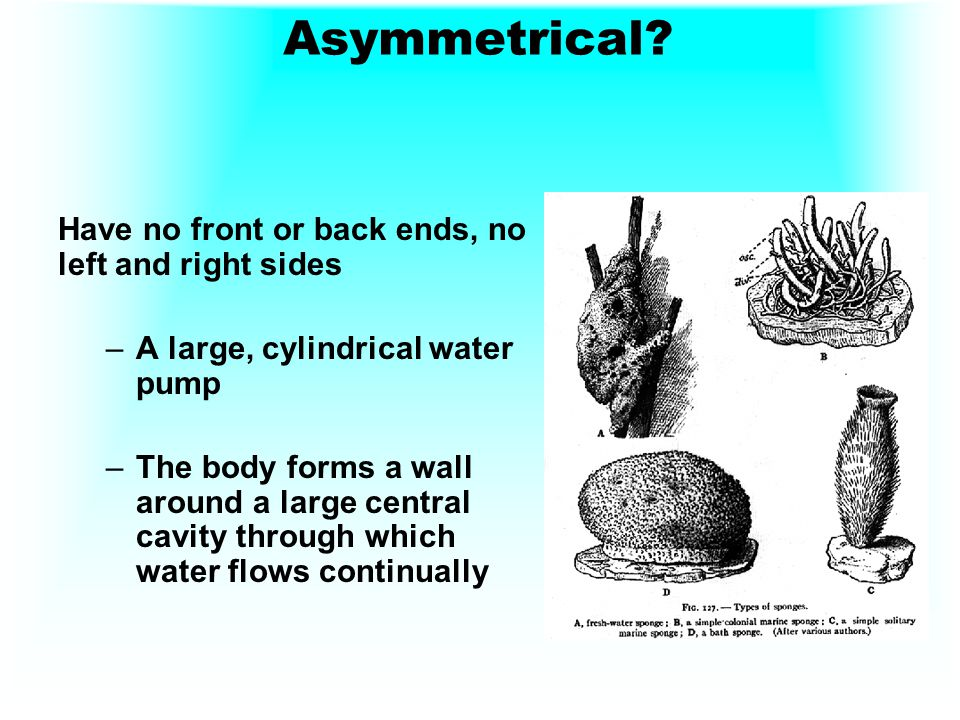 Asymmetrical Have no front or back ends, no left and right sides