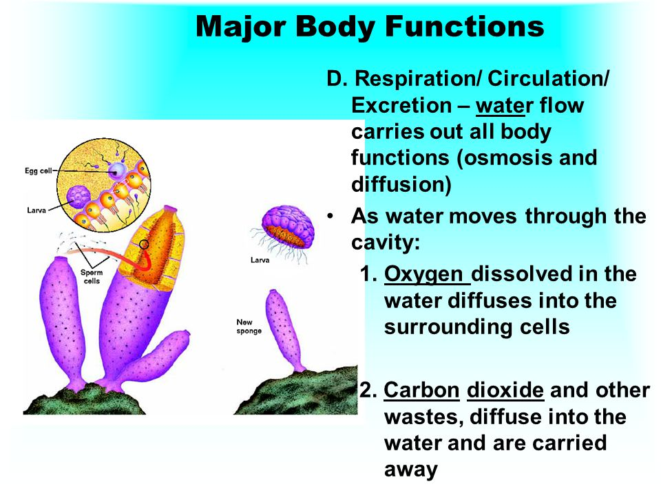 Major Body Functions D. Respiration/ Circulation/ Excretion – water flow carries out all body functions (osmosis and diffusion)