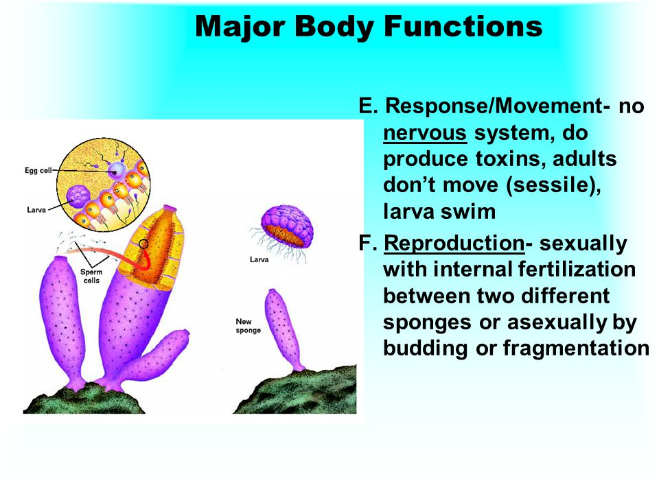 Major Body Functions E. Response/Movement- no nervous system, do produce toxins, adults don't move (sessile), larva swim.