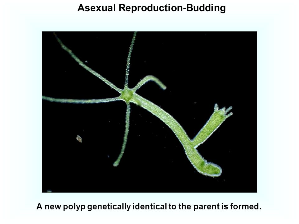 Asexual Reproduction-Budding
