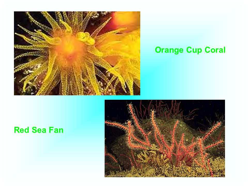 Orange Cup Coral Red Sea Fan