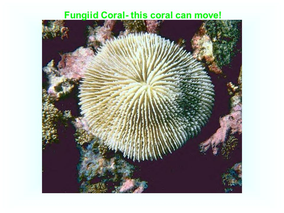 Fungiid Coral- this coral can move!