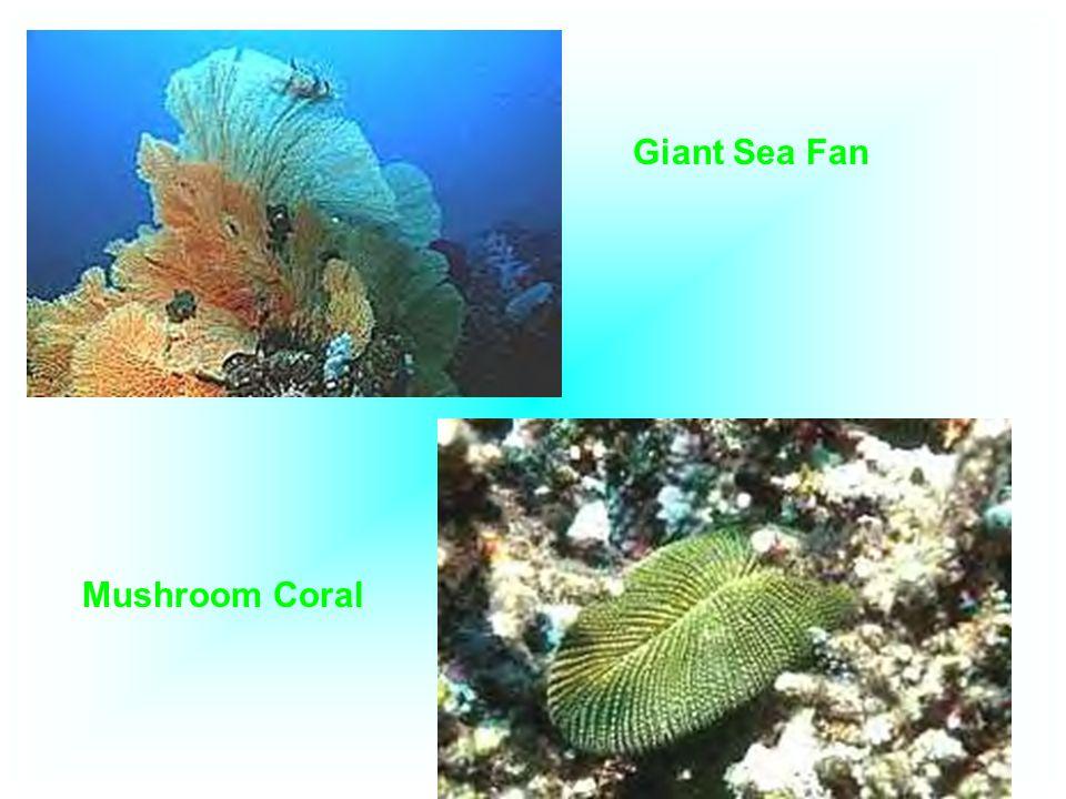 Giant Sea Fan Mushroom Coral