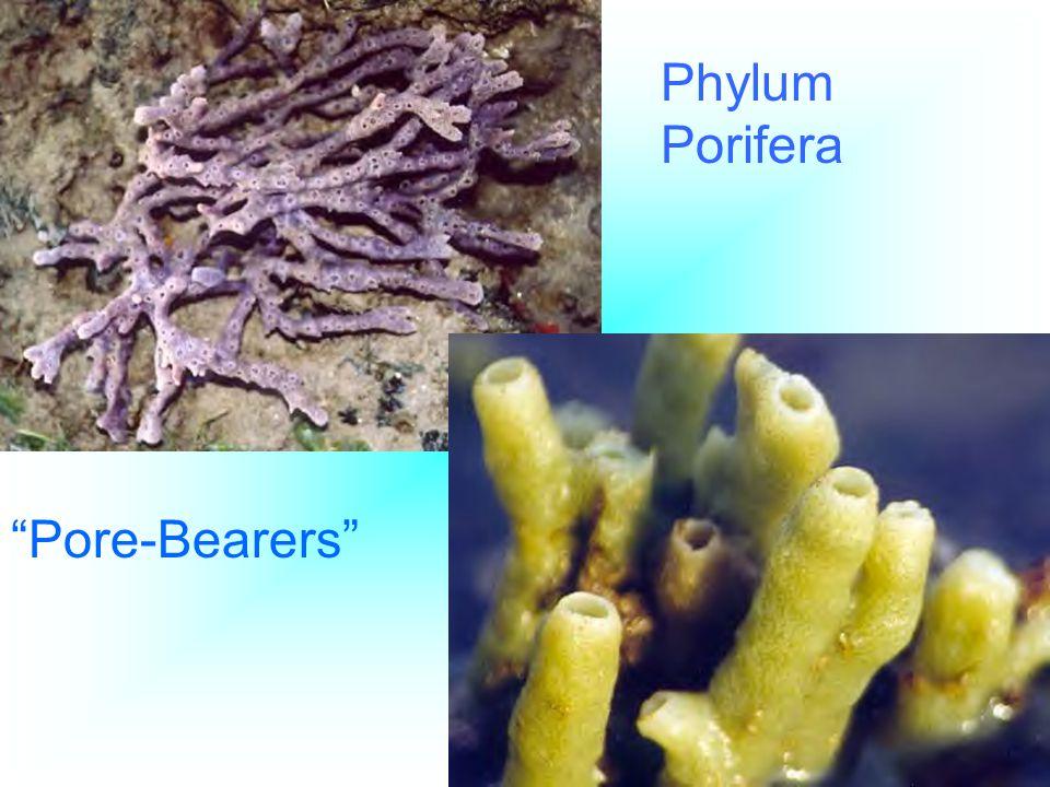 Phylum Porifera Pore-Bearers