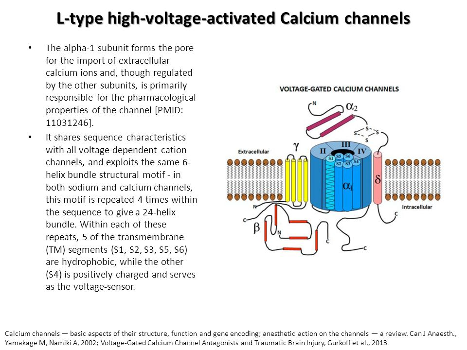 L-type high-voltage-activated Calcium channels